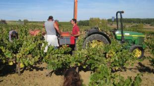 Colheita da uvas em Gaillac, na região do Tarn