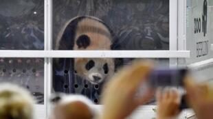 Les deux nouveaux pandas du zoo de Berlin ont été présentés à la presse, ce samedi 24 juin.