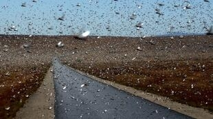 Un essaim de criquets près de la localité de Sakaraha, au sud-ouest de Madagascar, le 27 avril 2013.