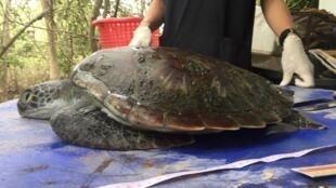 A tartaruga verde tratada no Centro Marinho de Chantaburi em 6 de junho não pôde ser salva.