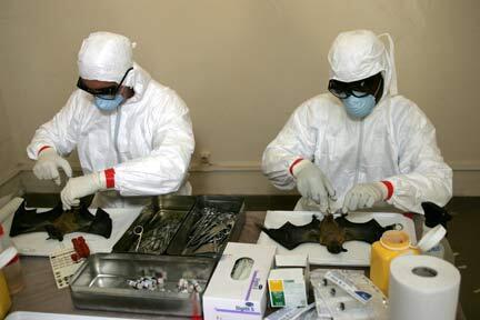 Giải phẫu dơi tại Trung tâm nghiên cứu y khoa Franceville (Gabon). Động vật hoang dã này là vật chủ của nhiều loại virus, nhưng là món ăn ưa thích tại Trung Quốc.