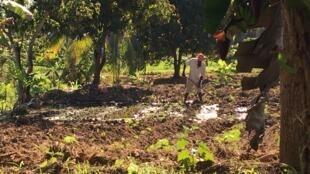 En Haïti, le mouvement de contestation «pays lock», (pays bloqué) a durement touché les campagnes: les paysans ne pouvaient acheminer leurs productions vers les centres urbains en raison des blocages (dans la région de Papaye, département du Centre).