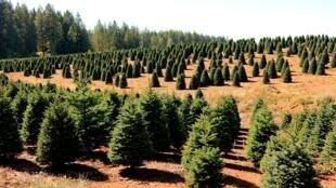Une ferme à sapins de Noël dans la Vallée de la Willamette dans l'Oregon aux Etats-Unis.