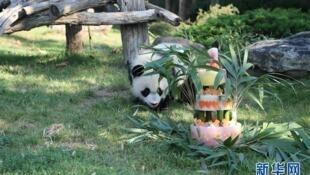 在法国出生的熊猫宝宝圆梦一岁生日