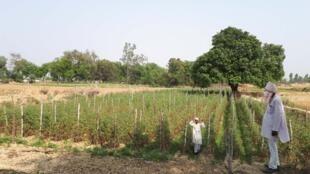 Satrohan devant son champ de tomates, périphérie de Lucknow, Uttar Pradesh.