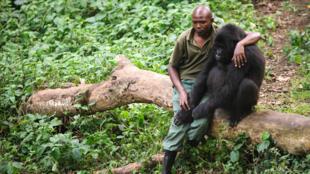Patrick Karabaranga, l'un des gardien du parc des Virunga, dans l'est de la RDC, en juillet 2012 avec l'un des gorilles pris en charge à Rumangabo.