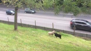 Avec l'utilisation de moutons, la mairie de Paris a opté pour l'éco-pâturage.