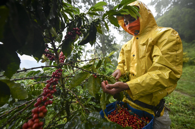 Récote manuelle du café dans la municipalité de Santuario, en Colombie, en mai 2019 (image d'illustration).