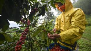 Un hombre cosecha café en el municipio de Santuario, departamento de Risaralda, Colombia, en mayo de 2019