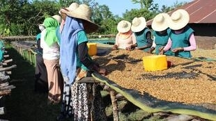 Des jeunes femmes trient les grains de café qui sèchent dans la région de Jimma.