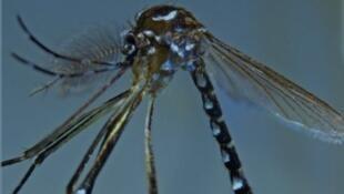 Stegomyia pia mâle, appartenant à la nouvelle espèce présumée vectrice de la dengue et du chikungunya à Mayotte.