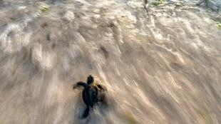 """""""Cuando vi la bebé tortuga me dije que iba directo a la muerte"""", escribe el fotógrafo Alexis Rsenfeld."""