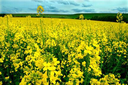 A colza é a planta mais utilizada na Europa para a produção de biocombustíveis.
