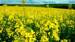 La colza es la planta más utilizada en Europa para la fabricación de biocombustibles.