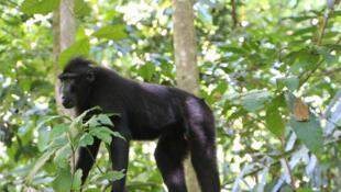 Macaque à crête noire de Sulawesi (Célèbes) dans la réserve Tangkoko.