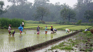 Rice plantation in Java, Indonesia