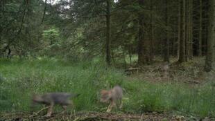 Foto de filhotes de lobo em uma área de floresta no sul de Holstebro na Dinamarca