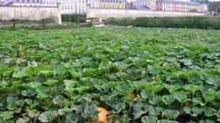 """凡尔赛法国国王路易十四的""""国王菜园"""" (Le Potager du Roi)"""