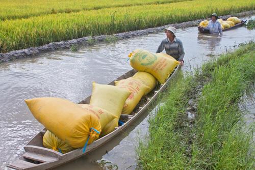 Một cảnh thu hoạch lúa ở đồng bằng sông Cửu Long (DR)