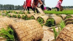 Des agriculteurs dans un champ de riz, à Lianyungang, en Chine.