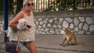 Una mujer psa junto a un macao el 11 de octubre de 2014 en Gibraltar