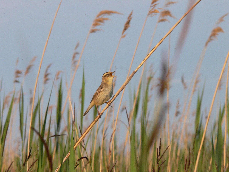 Вертлявая камышевка стала одной извизиток Беларуси — птичка есть намарках, календарях, авгороде Березе ей поставили памятник