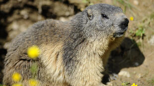 Marmots are believed to be one of the main vectors for spreading bubonic plague in Mongolia