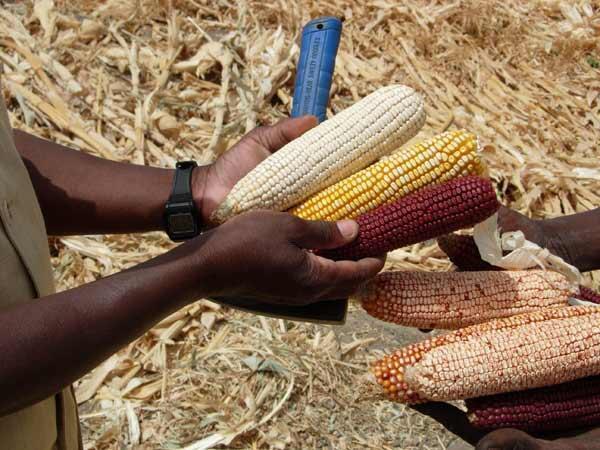 Les agriculteurs des rives du lac Tchad produisent surtout du maïs mais aussi des haricots et des poivrons.