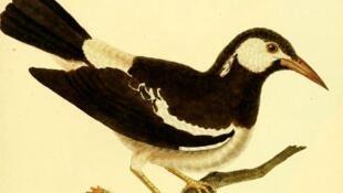 Скворец. Иллюстрация из «Естественной истории» Жоржа-Луи де Бюффона. XVIII век.