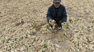 A farmer holds up withered vegetables in a dried field on the outskirts of Jiaxing, Zhejiang province February 13, 2011.