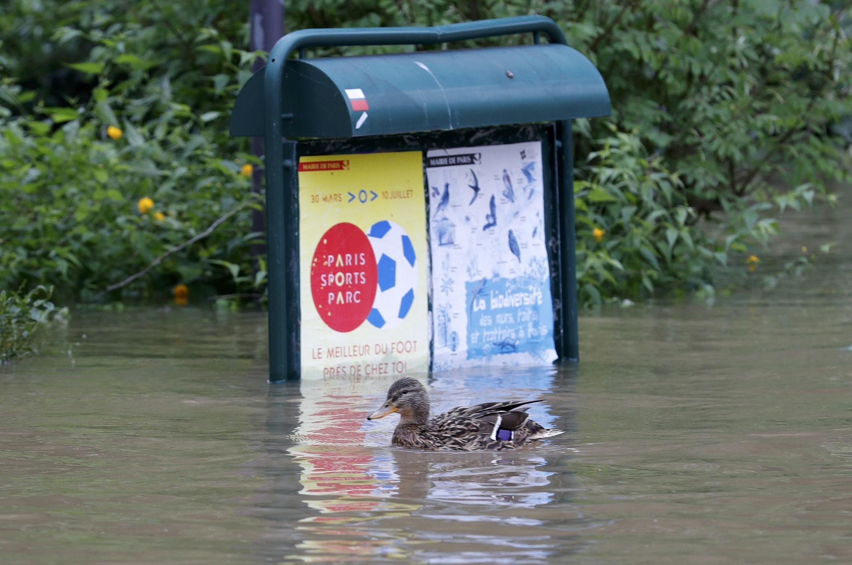 Un canard passe devant un panneau d'information dans le square du Vert Galant situé sur l'île de la Cité inondée par la Seine, Paris, le 3 juin 2016.