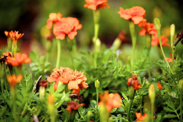 La caléndula, o maravilla, funciona como pesticida natural.