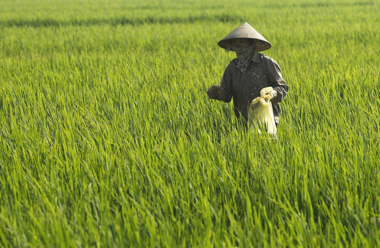 Một cánh đồng lúa ở ngoại ô Hà Nội. Duy trì diện tích đất trồng lúa, một thách thức lớn đối với Việt Nam (Reuters)