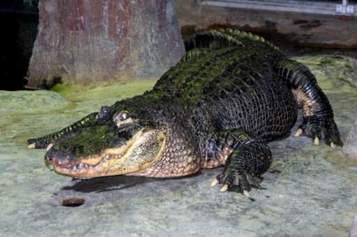 Né en 1936 aux Etats-Unis, l'alligator Saturne est mort le 22 mai 2020 au zoo de Moscou.