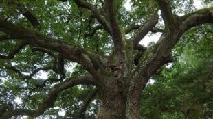 Arbre - Chêne - tree-893273