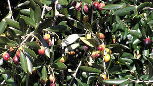 Olive tree in Calenzana, Corsica