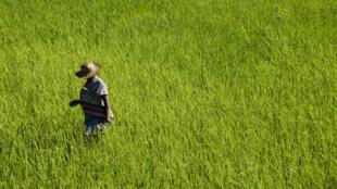 Une rizière près de Fort Dauphin, à Madagascar.