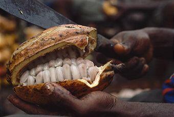 La cabosse est le fruit du cacaoyer qui contient entre de 15 à 40 graines et mûrit environ 4 à 5 mois après la floraison.