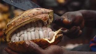 Cosse de cacao. Le Cameroun espère passer le cap des 600 000 tonnes de cacao produites en 2020.