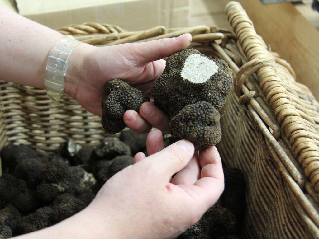 A trufa branca de verão é mais resistente e tem ocupado espaços onde, tradicionalmente, havia produção de trufas negras de Périgord.