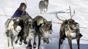 250 000 rennes seront probablement abattus sur la péninsule de Yamal, à l'extrême nord de la Sibérie occidentale au bord de l'océan Arctique.