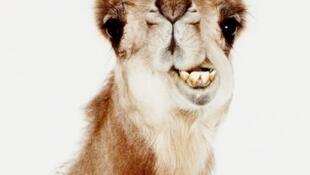 Lors de la visite officielle de François Hollande au Mali un chameau avait été offert au président français.