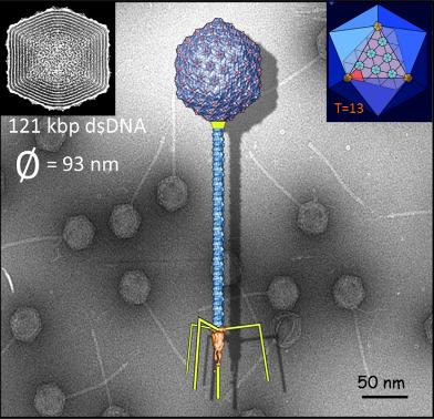 Ilustración de un bacteriófago T5, un virus cuya masa real pudo medirse gracias a la nanobáscula.