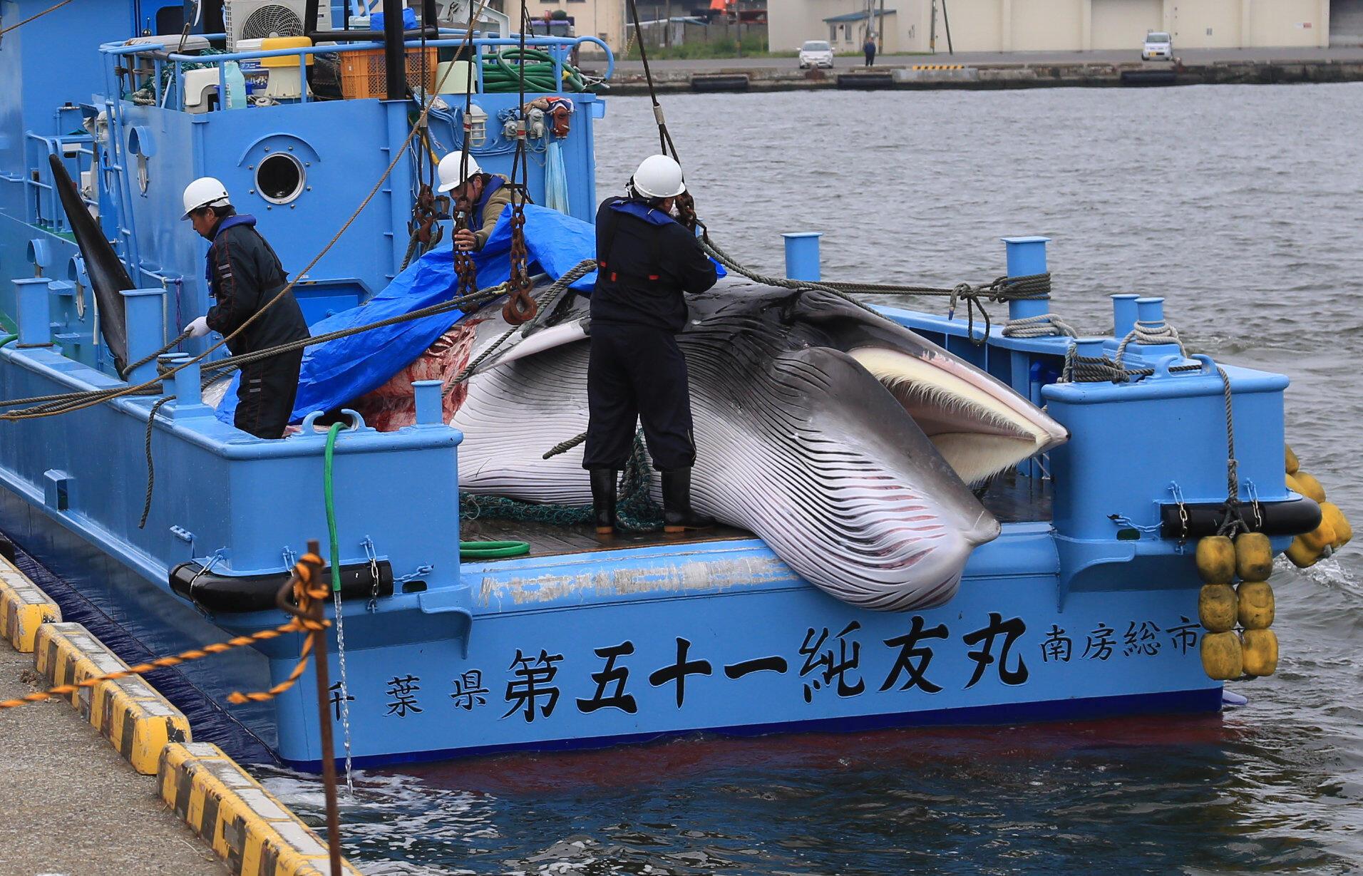 Japão aplica fim da moratória e volta a caçar comercialmente baleias. Os primeiros dois animais foram capturados nesta segunda-feira em aguas territoriais do país.