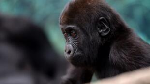 Un jeune gorille photographié au zoo de Beauval à Saint-Aignan-sur-Cher le 23 juin 2017.