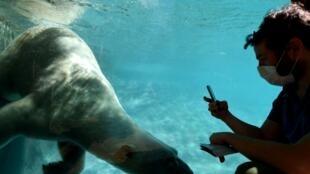 Un hombre con una máscara protectora observa a un oso polar nadando en su piscina, en el zoológico de la ciudad francesa de La Fleche, el 23 de mayo de 2020, después de que el gobierno alivió las medidas de confinamiento contra la pandemia de COVID-19