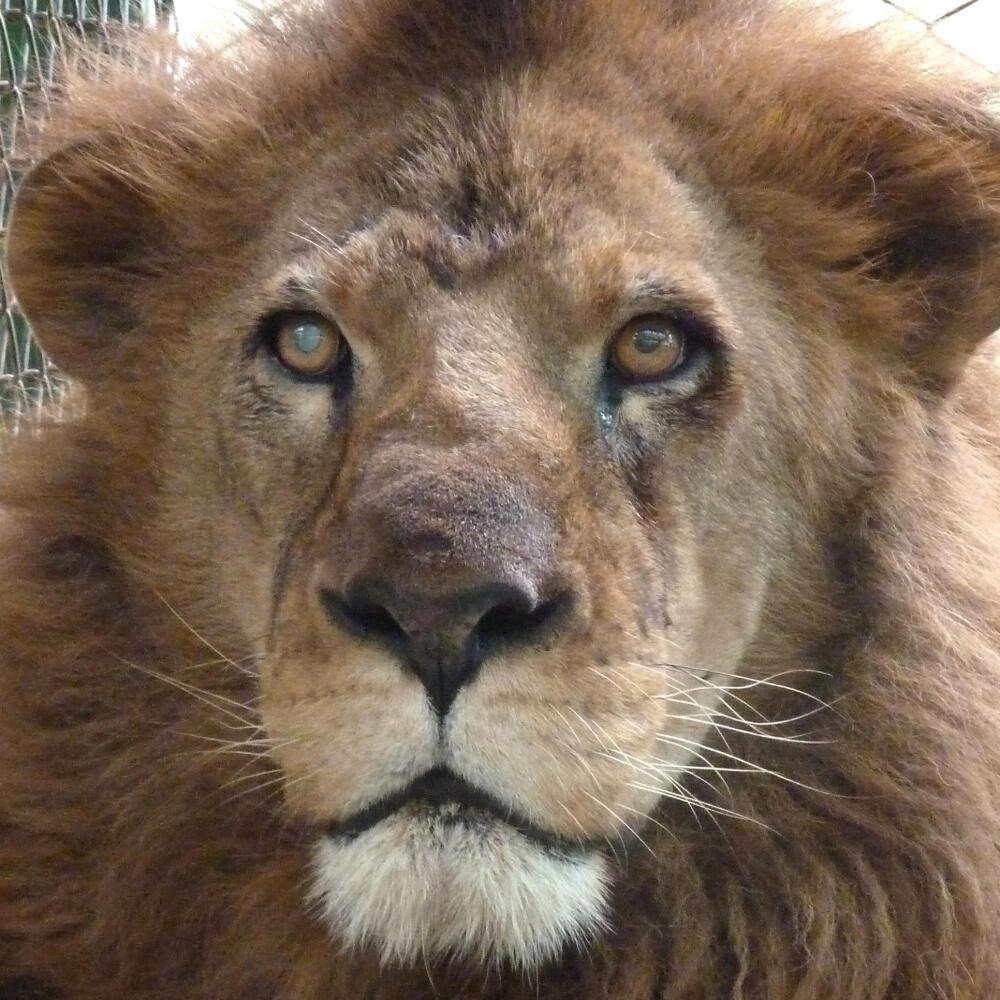 A Ojiclaro le espera un largo viaja hasta una reserva natural donde podrar recuperar su salud y su instinto animal.
