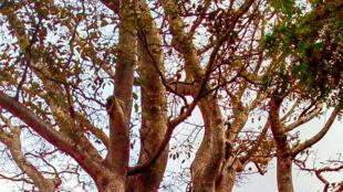 La ville de Lokossa, chef-lieu du  département de Mono, dans le Sud de l'actuel Bénin, doit son nom à un immense iroko.