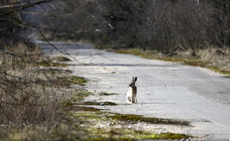 Trente ans après la catastrophe nucléaire de Tchernobyl, en Ukraine, les animaux sauvages envahissent la zone la plus contaminée. (Photo prise dans la zone d'exclusion de Tchernobyl, près du village de Radin, en Biélorussie, le 12 mars 2016).