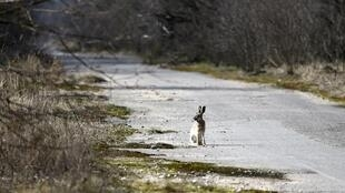 Trinta anos depois da catástrofe, a área contaminada está invadida por animais selvagens
